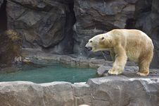 Free Polar Bear Stock Photos - 5102423