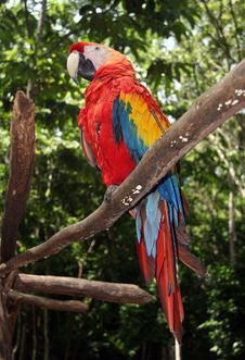 Scarlet Macaw Sitting On Branch Royalty Free Stock Photos