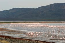 Free Flamingos Wading In Water Stock Photo - 5102570