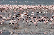 Free Flamingos Wading In Water Stock Image - 5102571