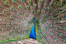 Free Peacock Royalty Free Stock Photography - 5102767