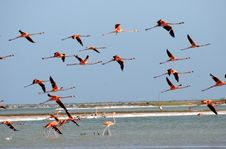 Free Great Flamingos Flying Stock Photography - 5102792