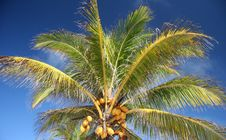 Free Coconut Tree Stock Photography - 5102862