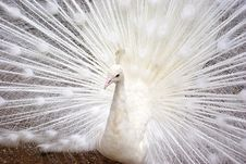 Free White Peacock Royalty Free Stock Photo - 5102875