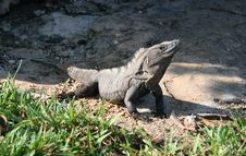Free Huge Iguana Sunbathing Stock Photo - 5102910