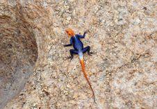 Free Colorful Lizard Sunbathing Royalty Free Stock Image - 5103116