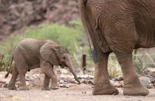 Cute Elephant Calf Behind Elephant Cow Stock Photography
