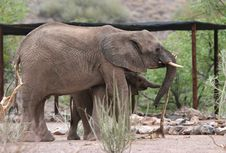 Free Desert Elephants Stock Photography - 5103232