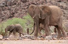 Cute Elephant Calf And Elephant Cow Stock Image