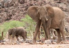 Cute Elephant Calf With Elephant Cow Stock Images