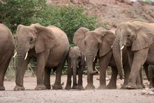 Free Desert Elephants Royalty Free Stock Photos - 5103258