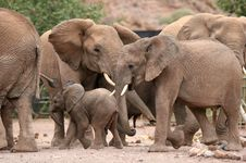 Desert Elephants In Twyfelfontein Camp Stock Photo