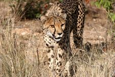Free Curiously Cheetah Royalty Free Stock Image - 5103316