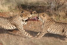Cheetah Fighting For Meat Stock Photography