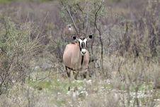 Curious Oryx Antelope Stock Photos
