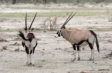 Free Two Oryx Antelopes Royalty Free Stock Photography - 5103377