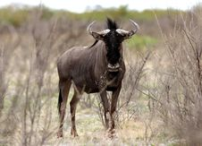 Free Wildebeest Curiously Looking Stock Images - 5103384