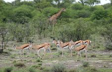 Free Springbok Antelopes Against Giraffe Royalty Free Stock Image - 5103466