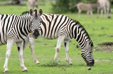 Free Zebra Looking At Camera Royalty Free Stock Photos - 5103468
