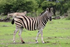 Free Zebra Looking At Camera Royalty Free Stock Image - 5103476