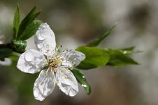 Free Spring Flower Stock Image - 5103491