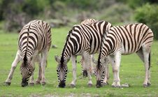 Free Zebras Feeding With Grass Stock Images - 5103494