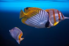 Butterfly Fishes. Royalty Free Stock Photo