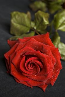 Free Red Rose Royalty Free Stock Photos - 5104148