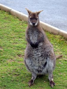 Young Female Wallaby Royalty Free Stock Photos