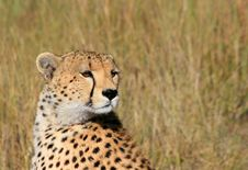 Free Cheetah Royalty Free Stock Photography - 5105247