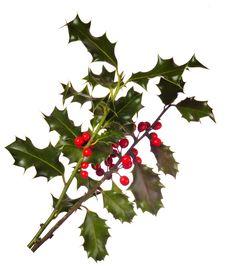 Free Holly (Ilex) - Isolated On White Royalty Free Stock Photo - 5105255
