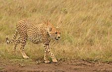 Cheetah 2 Royalty Free Stock Photos