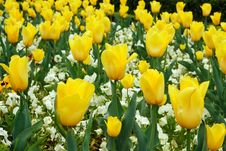 Free Yellow Tulips Royalty Free Stock Photography - 5105687