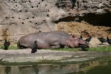 Free Hippo And Birds Royalty Free Stock Images - 5106899