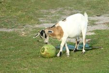 Billy Goat On Bohol Island Stock Photo