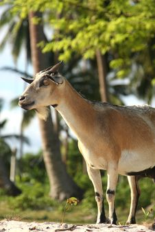 Free Billy Goat On Bohol Island Royalty Free Stock Photography - 5107017