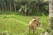 Billy Goat On Bohol Island Royalty Free Stock Photos