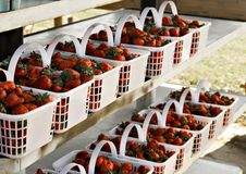 Free Fresh Strawberries Royalty Free Stock Image - 5107336