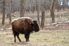 Free Bison Royalty Free Stock Photos - 5107538