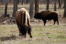 Free Two Bison Stock Image - 5107541