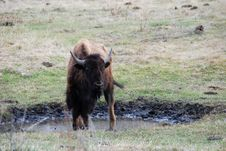 Free Bison Royalty Free Stock Photo - 5107555