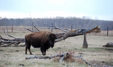 Free Bison Stock Photography - 5107612