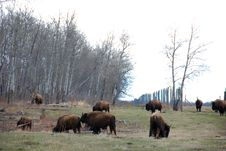Free Bison Herd Stock Image - 5107621