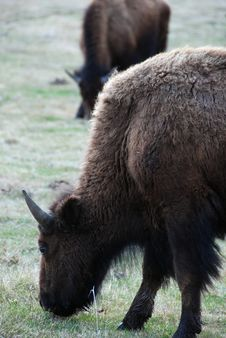 Free Two Bison Stock Photos - 5107663