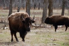 Free Bison Herd Stock Image - 5107671