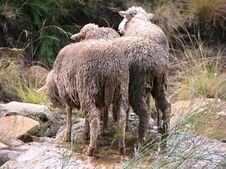 Free Sheep Royalty Free Stock Image - 5107846