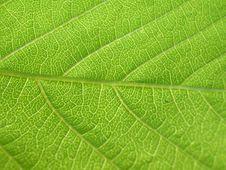 Free Green Leaf Royalty Free Stock Photos - 5108458