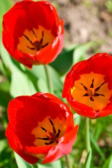 Free Red Tulips Stock Photography - 5108662