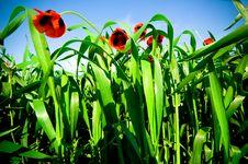 Free Poppies Stock Image - 5109181