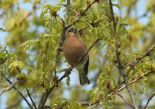 Free Chaffinch Stock Photo - 5109880